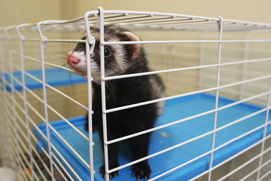 %22I+never+knew+ferrets+existed+until+my+mom+came+home+one+day+with+ferrets+in+separate+boxes.%22