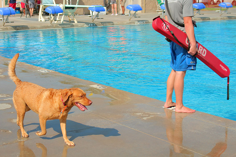 A+dog+walks+along+the+poolside+and+a+lifeguard+before+jumping+back+in.