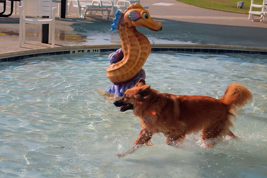 A+golden+retriever+runs+through+the+water%2C+splashing+everywhere.