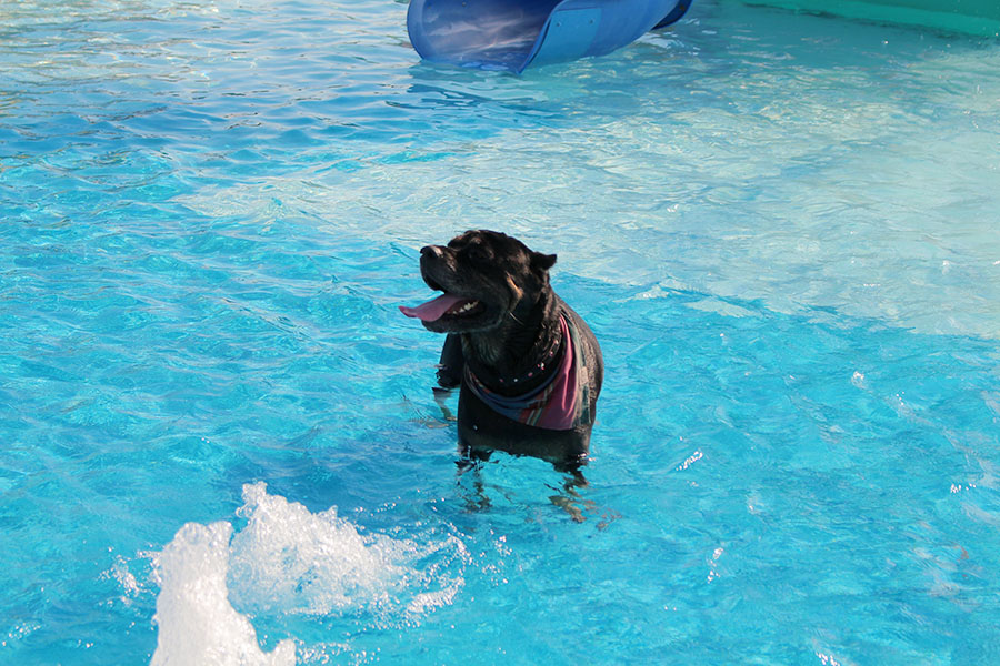 A+rottweiler+stands+in+the+kiddy+pool%2C+smiling.+
