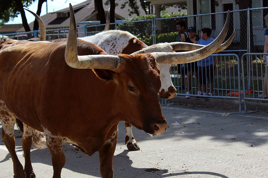 The longhorns make their way down the parade route.